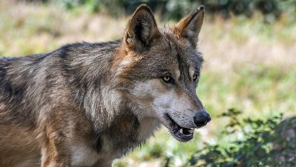 artikel/wolf.jpg